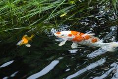 Ο φανταχτερός κυπρίνος αναπνέει Στοκ φωτογραφίες με δικαίωμα ελεύθερης χρήσης