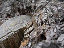Ο φλοιός δέντρων, κλείνει επάνω τη φωτογραφία στοκ φωτογραφίες