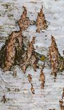 Ο φλοιός σημύδων, παλαιός φλοιός, αποφλοιώνει πολύ Στοκ Φωτογραφίες