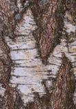 Ο φλοιός σημύδων, παλαιός φλοιός, αποφλοιώνει πολύ Στοκ εικόνα με δικαίωμα ελεύθερης χρήσης