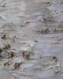 Ο φλοιός σημύδων, παλαιός φλοιός, αποφλοιώνει πολύ Στοκ Εικόνες