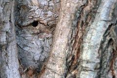Ο φλοιός του δέντρου είναι παρόμοιος με το ανθρώπινο μάτι στοκ φωτογραφία με δικαίωμα ελεύθερης χρήσης