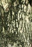 Ο φλοιός του δέντρου στη φύση Στοκ Φωτογραφίες