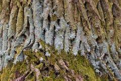 Ο φλοιός του δέντρου. Στοκ Φωτογραφία