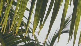Ο φοίνικας κακάου βγάζει φύλλα στον αέρα απόθεμα βίντεο