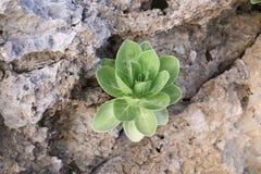 Ο φωτεινός πράσινος tectorum sempervivum κοτών και νεοσσών αυξάνεται στοκ φωτογραφία με δικαίωμα ελεύθερης χρήσης