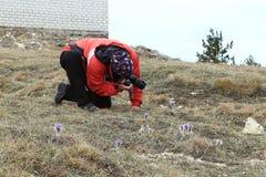 Ο φωτογράφος παίρνει μια εικόνα του pasque-λουλουδιού Στοκ Φωτογραφία