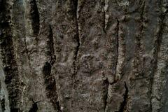 Ο φλοιός ενός ξύλου καρυδιάς Στοκ εικόνες με δικαίωμα ελεύθερης χρήσης