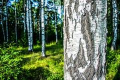 Ο φλοιός σημύδων Στοκ φωτογραφία με δικαίωμα ελεύθερης χρήσης