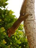 Ο χέρι-σκίουρος ροκανίζει τα καρύδια, σκίουρος με ένα καρύδι στοκ εικόνα