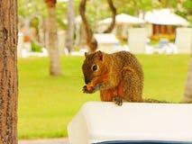 Ο χέρι-σκίουρος ροκανίζει τα καρύδια, σκίουρος με ένα καρύδι στοκ εικόνες