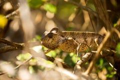 Ο χαμαιλέοντας Petter ` s, Furcifer Petteri είναι σχετικά άφθονος στις παραλιακές περιοχές της βόρειας Μαδαγασκάρης στοκ φωτογραφίες