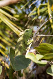 Ο χαμαιλέοντας Petter ` s, Furcifer Petteri είναι σχετικά άφθονος στις παραλιακές περιοχές της βόρειας Μαδαγασκάρης στοκ εικόνες