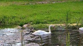 Ο χαριτωμένος άσπρος κύκνος κολυμπά το γρήγορο ripply ρεύμα την ηλιόλουστη θερινή ημέρα φιλμ μικρού μήκους