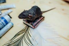 Ο χαριτωμένος αστείος σγουρός αρουραίος κουταβιών κάθεται σε ένα μικροσκοπικό βιβλίο σε έναν ξύλινο πίνακα με ένα φτερό , κινηματ στοκ εικόνα