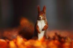 Ο χαριτωμένος κόκκινος σκίουρος με τα μακριά δειγμένα αυτιά τρώει ένα καρύδι στην πορτοκαλιά σκηνή φθινοπώρου με το συμπαθητικό α Στοκ εικόνα με δικαίωμα ελεύθερης χρήσης