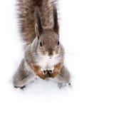 Ο χαριτωμένος κόκκινος σκίουρος με τη χνουδωτή ουρά που στέκεται στο άσπρο χιόνι, κοιτάζει Στοκ Εικόνες