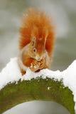 Ο χαριτωμένος κόκκινος σκίουρος τρώει ένα καρύδι στη χειμερινή σκηνή με το χιόνι Στοκ εικόνες με δικαίωμα ελεύθερης χρήσης