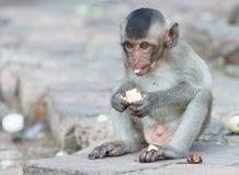Ο χαριτωμένος μικρός πίθηκος τρώει την μπανάνα Στοκ εικόνα με δικαίωμα ελεύθερης χρήσης