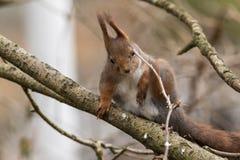 Ο χαριτωμένος νέος κόκκινος σκίουρος παίρνει έναν κλαδίσκο στο μάτι του στοκ εικόνες με δικαίωμα ελεύθερης χρήσης
