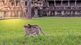 Ο χαριτωμένος πίθηκος macaque με τον πίθηκο μητέρων που τρέχει στην επιφάνεια χλόης χορτοταπήτων στο αρχαίο βασίλειο, Siem συγκεν Στοκ Εικόνες