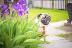 Ο χαριτωμένος παχύς μαλαγμένος πηλός σκυλιών κάθεται στα όμορφα λουλούδια της πορφυρής ίριδας στοκ εικόνα