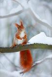 Ο χαριτωμένος πορτοκαλής σκίουρος τρώει ένα καρύδι στη χειμερινή σκηνή με το χιόνι, Τσεχία Χειμώνας CCold με το χιόνι Χειμερινό δ στοκ φωτογραφία
