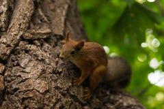 Ο χαριτωμένος χνουδωτός σκίουρος κάθεται σε ένα δέντρο στοκ εικόνα