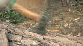 Ο χειροπέλεκυς κολλάει στο κομμένο δέντρο. απόθεμα βίντεο