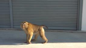 Ο χνουδωτός πίθηκος πηγαίνει κατά μήκος του τοίχου Γκρίζες πόρτες γκαράζ μετάλλων υποβάθρου και άσπρος τοίχος φιλμ μικρού μήκους