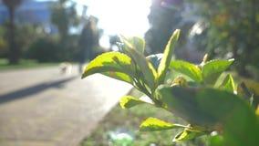 Ο χορτοτάπητας, σε μια για τους πεζούς οδό στο κέντρο της πόλης, λεωφόρος φοινικών 4k, σε αργή κίνηση 50mm background blur effect απόθεμα βίντεο