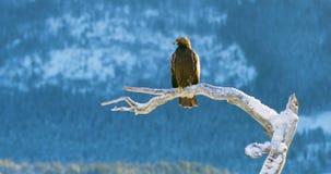 Ο χρυσός αετός κάθεται σε ένα δέντρο στα βουνά στο χειμώνα απόθεμα βίντεο
