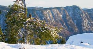 Ο χρυσός αετός κάθεται στο δέντρο στην κορυφή των υψηλών βουνών στο χειμώνα φιλμ μικρού μήκους