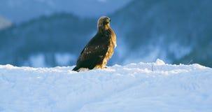 Ο χρυσός αετός τρώει σε ένα νεκρό ζώο στα βουνά στο χειμώνα απόθεμα βίντεο