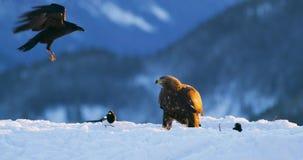 Ο χρυσός αετός τρώει το θήραμα στα βουνά στο χειμώνα απόθεμα βίντεο