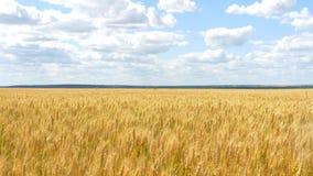 Ο χρυσός σίτος είναι έτοιμος για τη συγκομιδή ο ατελείωτος τομέας του σίτου στα πλαίσια του νεφελώδους ουρανού απόθεμα βίντεο