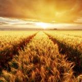 Ο χρυσός σίτος στο ηλιοβασίλεμα, αγροτική επαρχία Στοκ Εικόνες