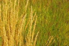 Ο χρυσός χρωμάτισε τις διακοσμητικές χλόες στον ήλιο στοκ φωτογραφία
