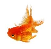 ο χρυσός ψαριών ανασκόπησης απομόνωσε το λευκό Στοκ φωτογραφίες με δικαίωμα ελεύθερης χρήσης