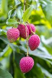 Ο χρόνος επιλογής lychee του στο ranisonkoil, thakurgoan, Μπανγκλαντές Στοκ εικόνα με δικαίωμα ελεύθερης χρήσης