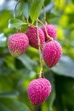 Ο χρόνος επιλογής lychee του στο ranisonkoil, thakurgoan, Μπανγκλαντές Στοκ Εικόνες