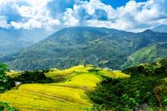 Ο χρόνος συγκομιδών ωριμάζει επάνω τα πεζούλια ρυζιού των ανθρώπων μειονότητας H'mong στο Υ Ty, λαοτιανό CAI, Βιετνάμ Στοκ Φωτογραφία