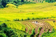Ο χρόνος συγκομιδών ωριμάζει επάνω τα πεζούλια ρυζιού των ανθρώπων μειονότητας H'mong στο Υ Ty, λαοτιανό CAI, Βιετνάμ Στοκ Φωτογραφίες