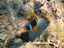 Ο ψάρι-κλόουν Στοκ εικόνα με δικαίωμα ελεύθερης χρήσης