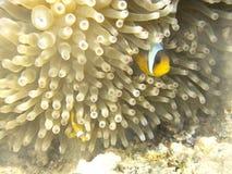Ο ψάρι-κλόουν Στοκ Φωτογραφίες