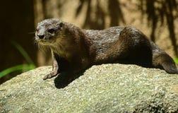 Οδόβαινος στο ζωολογικό κήπο της Μελβούρνης Στοκ Φωτογραφία