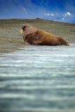 Οδόβαινος, rosmarus Odobenus, ραβδί έξω από το μπλε θαλάσσιο νερό στην παραλία χαλικιών, βουνά στο υπόβαθρο, Svalbard, Νορβηγία Στοκ Εικόνες
