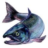 Ολόκληρα φρέσκα ατλαντικά ψάρια σολομών που απομονώνονται, απεικόνιση watercolor στο λευκό διανυσματική απεικόνιση