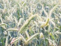 Ολόκληρο πράσινο σιτάρι κριθαριού Στοκ εικόνα με δικαίωμα ελεύθερης χρήσης