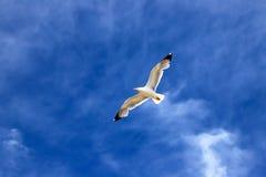 Ο όμορφος άσπρος γλάρος πετά στα ύψη ενάντια στο μπλε ουρανό με τα σύννεφα E στοκ εικόνα